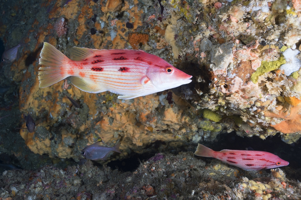 Red-Pigfish